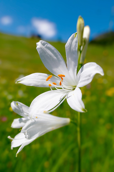 St Bruno's Lily ( Paradisea lilliastrum ). Alpine summer meadow.  Bernese Alps