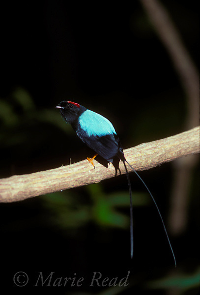 Long-tailed Manakin (Chiroxiphia linearis) adult male, Monteverde Cloud Forest Reserve, Costa Rica<br /> Slide # B103-121