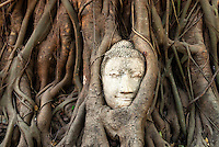 Nature has claimed the head of a Buddha statue near the entrance to the ruins of Wat Mahathat in Ayutthaya, which is part of Ayutthaya Historical Park. Ayutthaya was the ancient capital of the southern Kingdom of Siam from 1350 until it was sacked by the Burmese in 1767. Scattered around the temple are some important remains.