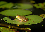 A bull frog at Rose Valley Lake, Gamble Township, PA.