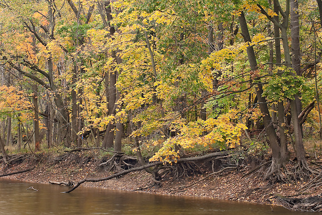 Ryerson Woods glow in their fall colors along the DesPlaines River, Ryerson Woods Conservation Area, Lake County, Illinois