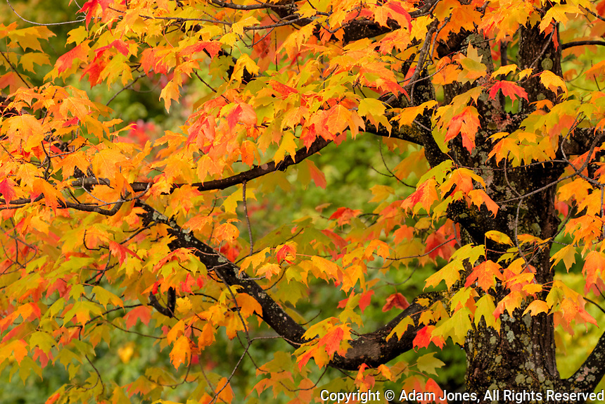 Close-up of maple tree with fall color, Upper Peninsula of Michigan, Hiawatha National Forest, Michigan
