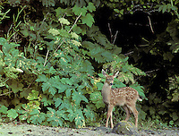Black-tailed Deer Fawn with Cow Parsnip; WA, Olympic NP