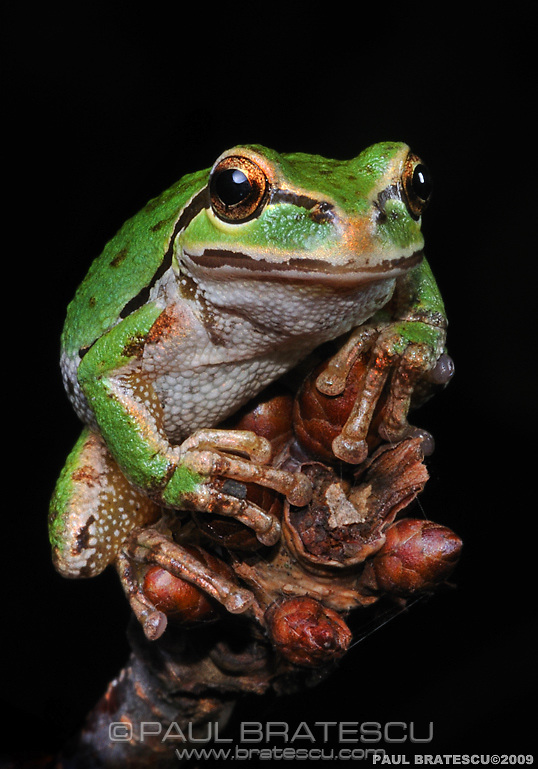 Northwest Pacific Tree Frog (Hyla regilla)
