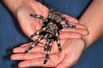 Brazilian Red & White Spider, Vitalis cristata, Tarantula, being held by adult, hands, combating fear. ....