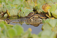 American Alligator (Alligator mississipiensis), adult in water lettuce (Pistia stratiotes), Fennessey Ranch, Refugio, Coastal Bend, Texas Coast, USA
