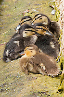 Summer ducklings