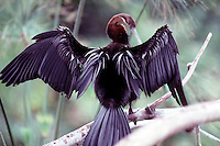 WETLAND BIRDS<br /> Anhinga Wings Spread To Dry Plumage