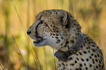 Cheetah (Acinonyx jubatus) six year old collared male, Kafue National Park, Zambia