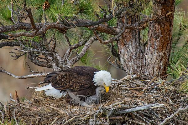 Bald Eagle Nest (Haliaeetus leucocephalus)--adult with ten to twelve day old eaglet in nest in tall ponderosa pine tree.  Oregon.  April.