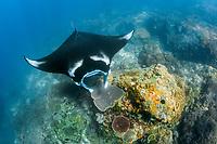 reef manta ray, Manta alfredi, Komodo National Park, Lesser Sunda Islands, Indonesia, Pacific Ocean