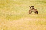 Eastern Grey Kangaroo (Macropus giganteus) mother nuzzling joey in grassland, Mount Taylor Nature Reserve, Canberra, Australian Capital Territory, Australia