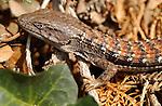 California Alligator Lizard, Sepulveda Wildlife Refuge, Southern California