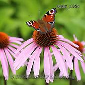 Gisela, FLOWERS, BLUMEN, FLORES, photos+++++,DTGK1920,#f#