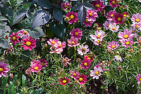 Cosmos Antiquity mix, annual flowers in pink and muted red shades