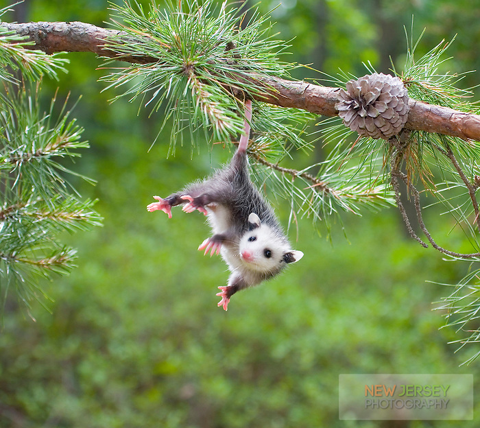 Baby Opossum, Pine Barrens, New Jersey