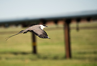 A long-tailed jaeger hunts on Alaska's north slope, north of the Arctic Circle.