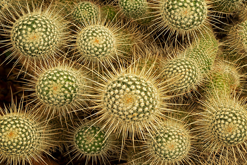 Close up of cactus (Mammillaria plumosa0.Moorten Botanical Garden, Palm Springs, California