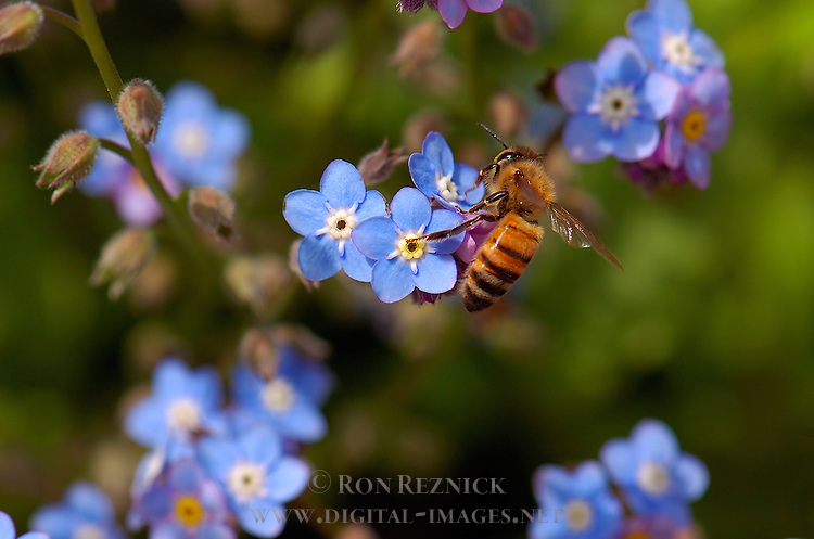 Forget-me-not with Bee, Western Honey Bee, Southern California