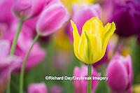 63821-22809 Yellow, pink and purple tulips, Chicago Botanic Garden, Glencoe, IL