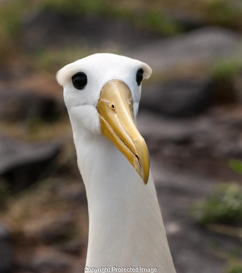 The adult Waved Albatross landed and began to waddle toward its mate.  The eye-brows, yellow bill and dark eyes were mesmerizing.
