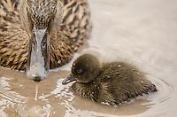 A Female Mallard {Anas platyrhynchos} with a Ducklings at WWT Slimbridge