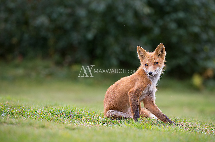 I saw this lovely red fox a couple times during my stay. It would hunt near the lodge and was quite accustomed to humans.