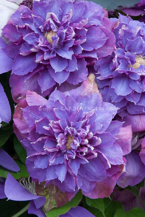 Clematis Diamantina aka Evipo039 double blue clematis flowered vine