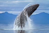 humpback whale, Megaptera novaeangliae, breaching, Frederick Sound, Alaska, USA, Pacific Ocean