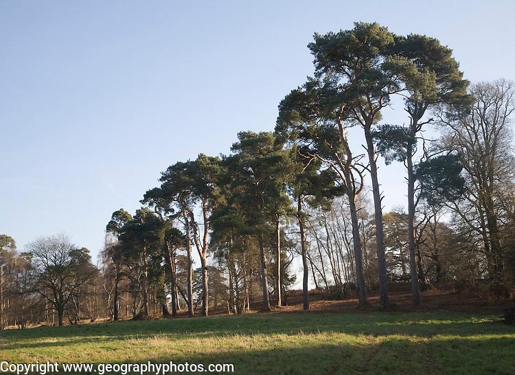 Scots pine trees, Sutton, Suffolk, England