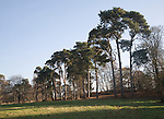 Scots pine trees, Sutton, Suffolk, England