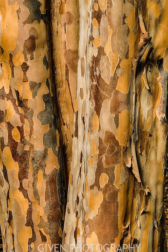 Stewartia pseudocamelia, Seattle, Washington