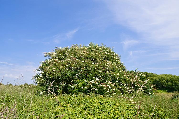 Flowering Elder - Samubucus nigra at Kenfig Nature Reserve, South Wales