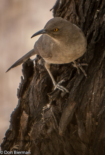 Sonoran Vista. Curve-billed Thrasher, juvenile<br /> Toxostoma curvirostre<br /> Order Passeriformes<br /> Family Mimidae: Mockingbirds and Thrashers
