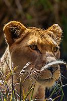 Lioness, Taronga Zoo, Sydney Harbor, Sydney, New South Wales, Australia