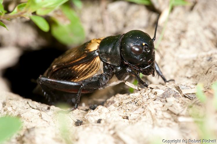 Field Cricket, Gryllus campestris, emerging from burrow in ground, Brasov-Buzau, Romania