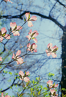 Pink dogwood blossums in front of blue sky