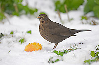 Blackbird Turdus merula - Female. L 25-28cm. Familiar ground-dwelling bird. Sexes are dissimilar. Adult male has uniformly blackish plumage. Legs are dark but bill and eyering are yellow. 1st winter male is similar but bill is dark and eyering is dull. Adult and 1st winter female are brown, darkest on wings and tail, and palest on throat and streaked breast. Juvenile is similar to adult female but marked with pale spots. Voice Utters harsh and repeated tchak alarm call, often at dusk. Male has rich, fluty and varied song. Status Common and widespread in gardens, but in woodland, farmland and coasts. Upland birds move to lower levels in winter and migrants arrive from Europe.