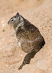 Squirrell, Imperial Sand Dunes