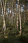 Silver birch trees, Upper Hollesley Common, Hollesley, Suffolk, England