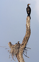 20080131_Periyar, India_ Large Cormorant perch on dead trees in the Periyar Lake, which is located in the Periyar Wildlife Sancuary in the Southern Indian state of Kerala.  Photographer: Daniel J. Groshong/Tayo Photo Group