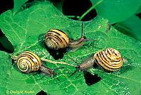 1Y08-123z  Land Snail - east coast land snail - Sephia hortensis
