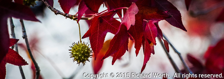 Bright red leaves and a dangling green seed pod give this tree a seasonal twist.  Cropped to 8.5 x 3, banner perspective
