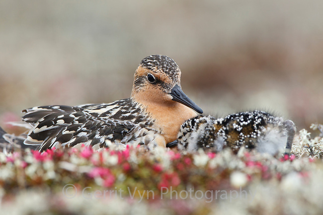Red Knot (Calidris canutus rogersi) brooding newly chicks at the nest returning to be warmed. Chukotka, Russia. June.