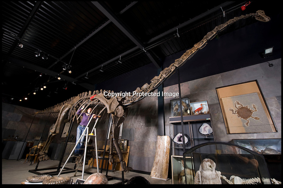 BNPS.co.uk (01202 558833)<br /> Pic: PhilYeomans/BNPS<br /> <br /> &pound;600,000 Dino sale...<br /> <br /> Kate Diment from Summer Place Auctions in Billingshurst West Sussex dusts off the enormous Diplodocus longus skeleton that is the first of its kind to be aucioned in Europe.<br /> <br /> Unlike the famous Diplodocus in the Natural History Museum in London, this 150 million year old specimen is not a copy. Its huge frame was unearthed by two children in a disused quarry in Wyoming three years ago. <br /> <br /> However potential buyers might struggle to find somewhere in their homes to put the 56 foot long dinosaur.