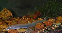 Flussneunauge, Fluss-Neunauge, Fluß-Neunauge, Neunauge, Pricke, Flusspricke, Lampetra fluviatilis, river lamprey, lampern, European river lamprey, Petromyzontida, Neunaugen, Neunaugenartige, lampreys