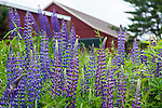 Lupines blooming in Rockport, Maine, USA