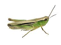 Lesser Marsh Grasshopper male - Chorthippus albomarginatus