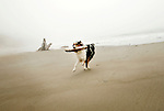 An Australian Shepherd fetches a piece of driftwood while playing on the Oregon Coast.