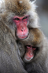 Jigokudani Monkey Park is located in the valley of Yokoyu-River, in Shigakogen area of the northern part of Nagano-Prefecture. Here Japanese Macaque can be observed nearby in an Onsen area.
